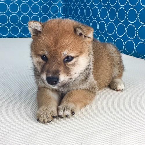 柴犬の子犬(ID:1262511527)の3枚目の写真/更新日:2018-06-20