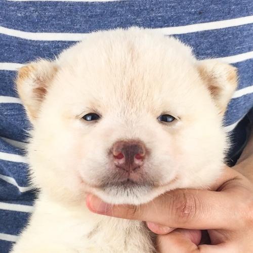 柴犬の子犬(ID:1262511528)の1枚目の写真/更新日:2018-06-14