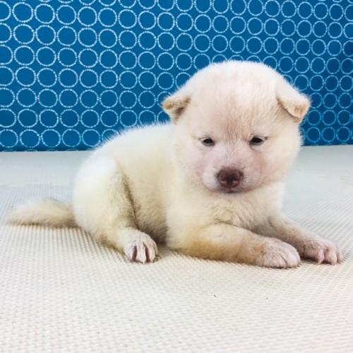 柴犬の子犬(ID:1262511528)の3枚目の写真/更新日:2018-06-14