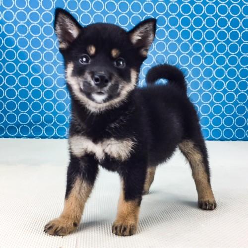 柴犬の子犬(ID:1262511529)の2枚目の写真/更新日:2018-06-14