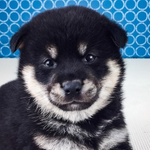 柴犬の子犬(ID:1262511530)の1枚目の写真/更新日:2018-06-21
