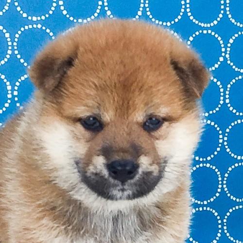 柴犬の子犬(ID:1262511532)の1枚目の写真/更新日:2018-06-17