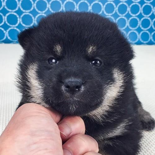 柴犬の子犬(ID:1262511533)の1枚目の写真/更新日:2018-06-21