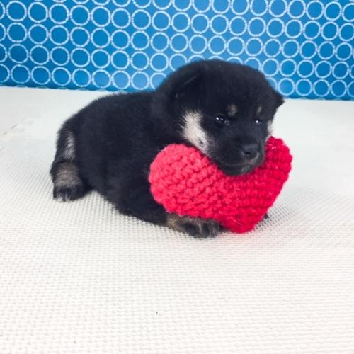 柴犬の子犬(ID:1262511533)の2枚目の写真/更新日:2018-06-21