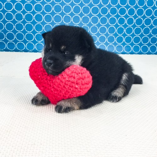 柴犬の子犬(ID:1262511533)の3枚目の写真/更新日:2018-06-21