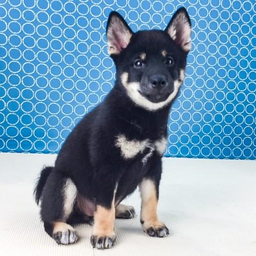 柴犬の子犬(ID:1262511534)の3枚目の写真/更新日:2018-06-21