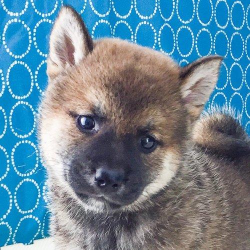 柴犬の子犬(ID:1262511535)の1枚目の写真/更新日:2018-06-21