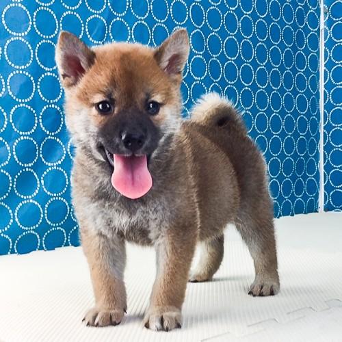 柴犬の子犬(ID:1262511536)の2枚目の写真/更新日:2018-06-22