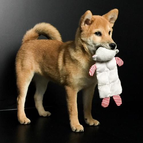 柴犬の子犬(ID:1262511537)の3枚目の写真/更新日:2018-09-06