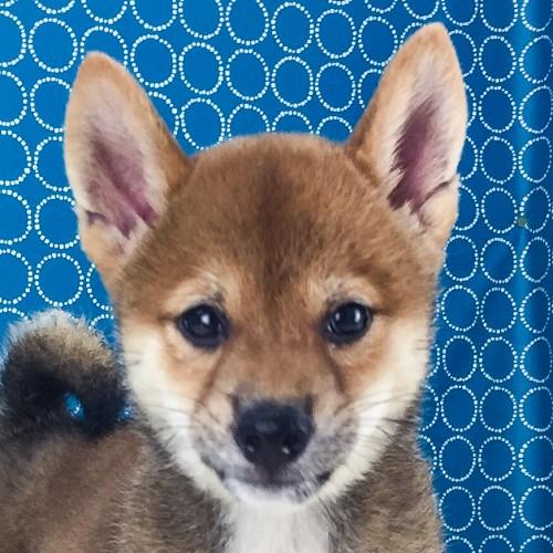 柴犬の子犬(ID:1262511538)の1枚目の写真/更新日:2018-06-22