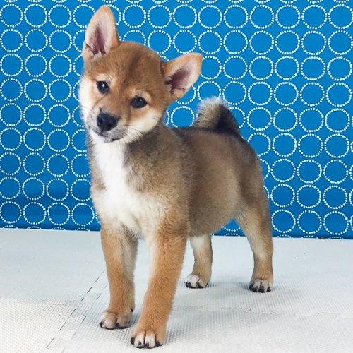 柴犬の子犬(ID:1262511538)の2枚目の写真/更新日:2018-06-22