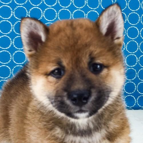 柴犬の子犬(ID:1262511539)の1枚目の写真/更新日:2018-06-24