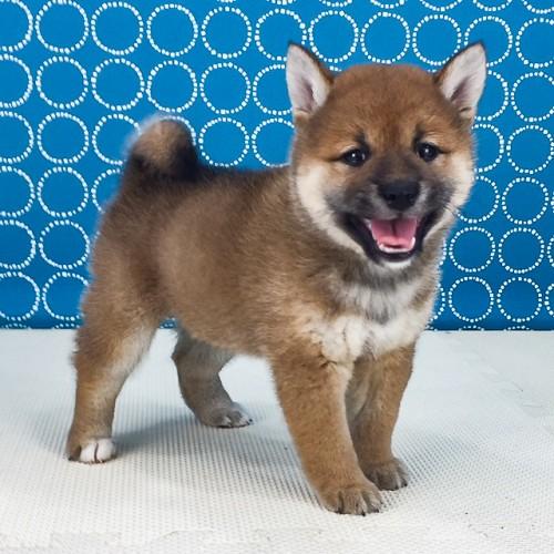 柴犬の子犬(ID:1262511539)の3枚目の写真/更新日:2018-06-24