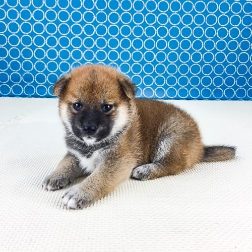 柴犬の子犬(ID:1262511545)の3枚目の写真/更新日:2018-07-15