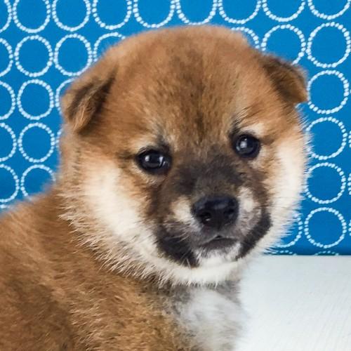 柴犬の子犬(ID:1262511546)の1枚目の写真/更新日:2018-07-14