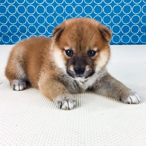 柴犬の子犬(ID:1262511546)の2枚目の写真/更新日:2018-07-14