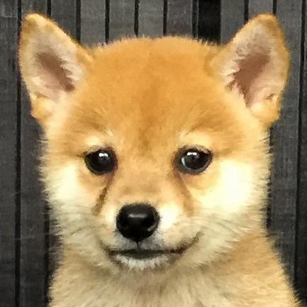 柴犬の子犬(ID:1262511547)の1枚目の写真/更新日:2018-08-29