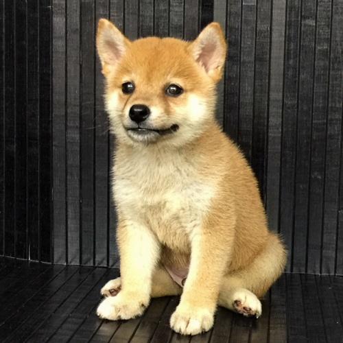柴犬の子犬(ID:1262511547)の2枚目の写真/更新日:2018-08-29