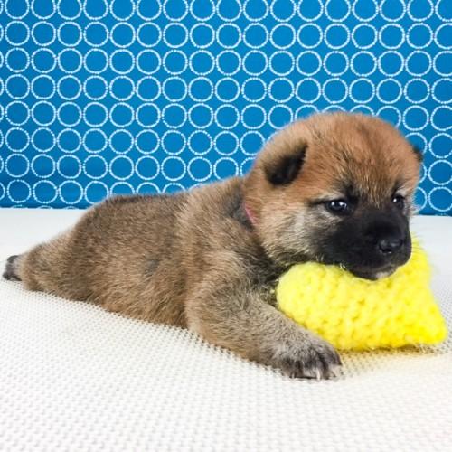 柴犬の子犬(ID:1262511548)の2枚目の写真/更新日:2018-07-16