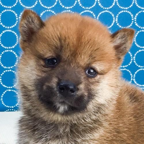 柴犬の子犬(ID:1262511551)の1枚目の写真/更新日:2018-07-31