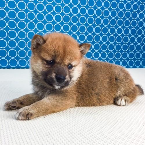 柴犬の子犬(ID:1262511551)の2枚目の写真/更新日:2018-07-31