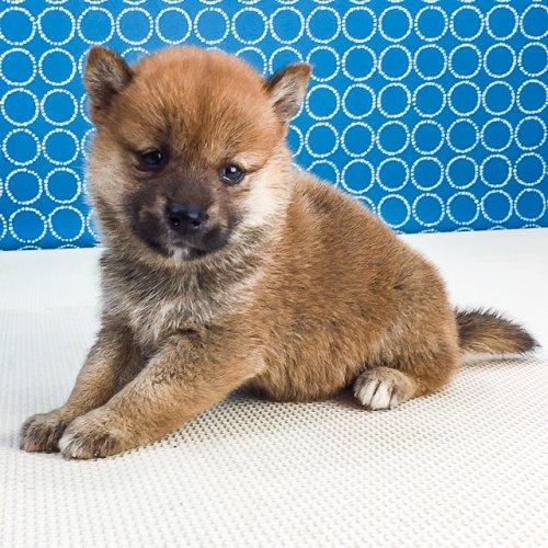 柴犬の子犬(ID:1262511551)の3枚目の写真/更新日:2018-07-31