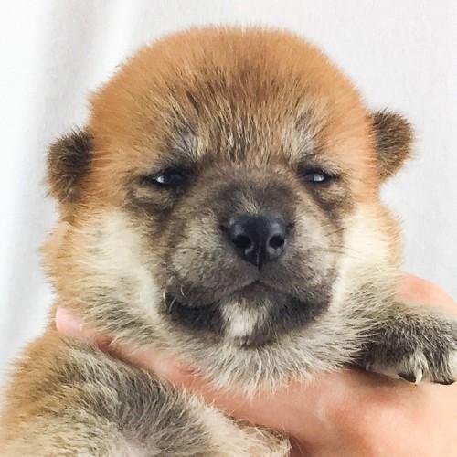 柴犬の子犬(ID:1262511552)の1枚目の写真/更新日:2018-08-10