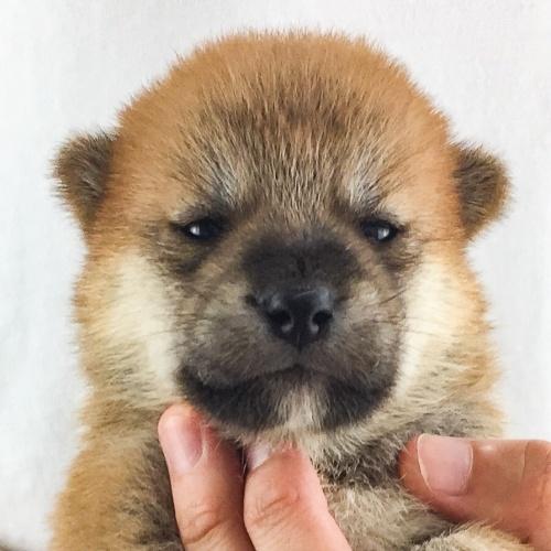 柴犬の子犬(ID:1262511553)の1枚目の写真/更新日:2018-08-10