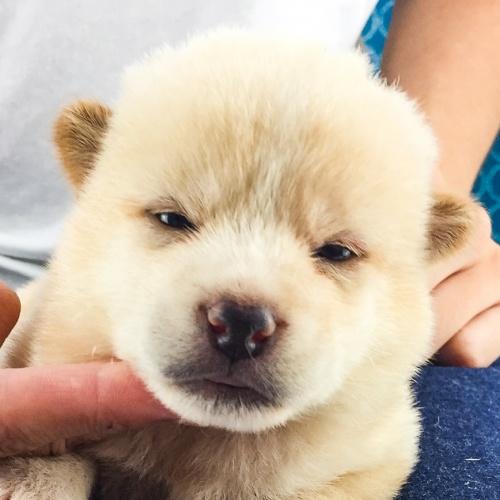 柴犬の子犬(ID:1262511554)の1枚目の写真/更新日:2018-08-10