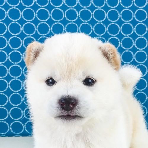 柴犬の子犬(ID:1262511559)の1枚目の写真/更新日:2018-08-19
