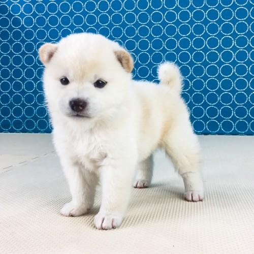 柴犬の子犬(ID:1262511559)の2枚目の写真/更新日:2018-08-19