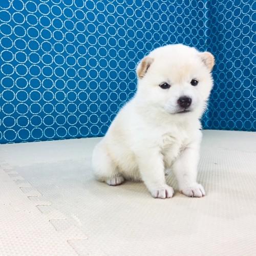 柴犬の子犬(ID:1262511559)の3枚目の写真/更新日:2018-08-19