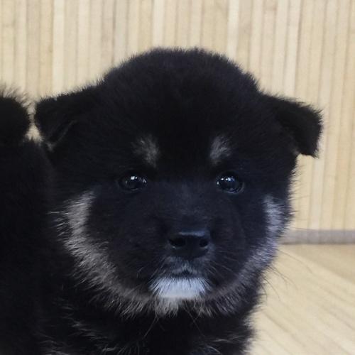 柴犬の子犬(ID:1262511560)の1枚目の写真/更新日:2018-08-27