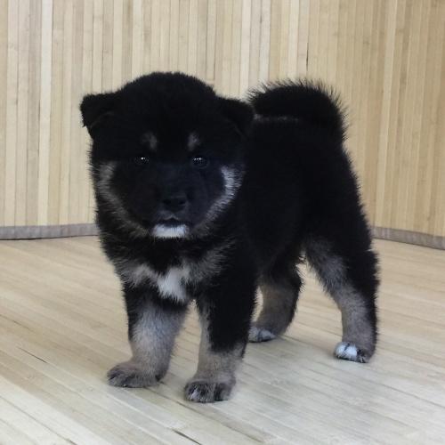 柴犬の子犬(ID:1262511560)の3枚目の写真/更新日:2018-08-27