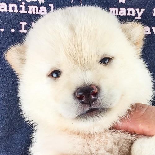 柴犬の子犬(ID:1262511562)の1枚目の写真/更新日:2018-08-22