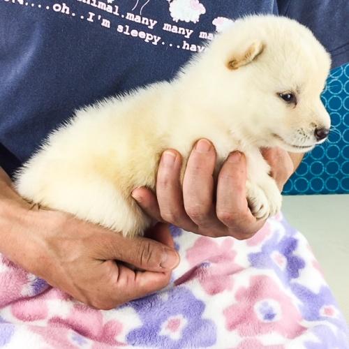 柴犬の子犬(ID:1262511562)の2枚目の写真/更新日:2018-08-22