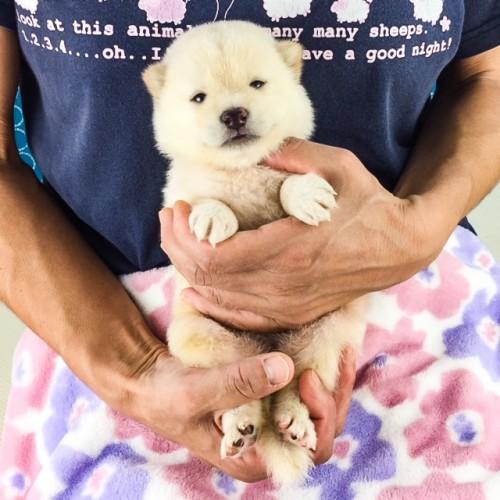 柴犬の子犬(ID:1262511562)の3枚目の写真/更新日:2018-08-22