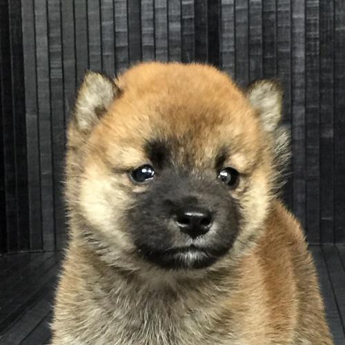 柴犬の子犬(ID:1262511563)の1枚目の写真/更新日:2018-09-03