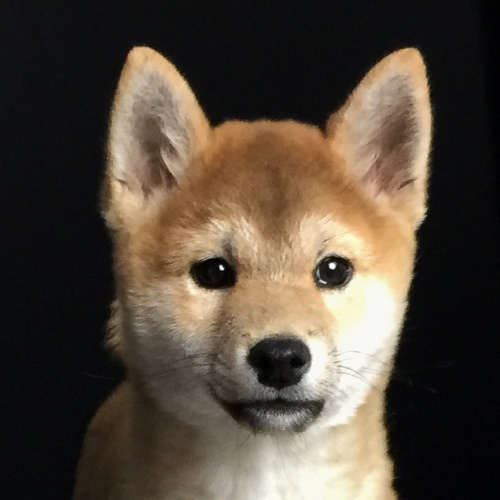 柴犬の子犬(ID:1262511564)の1枚目の写真/更新日:2018-09-14