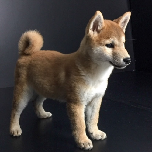 柴犬の子犬(ID:1262511564)の2枚目の写真/更新日:2018-09-14