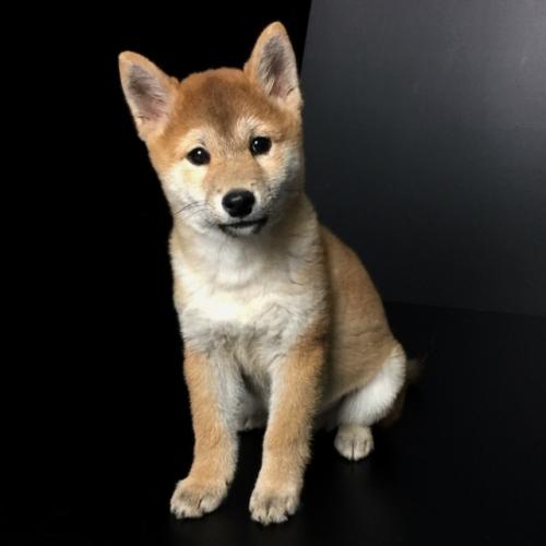 柴犬の子犬(ID:1262511564)の3枚目の写真/更新日:2018-09-14