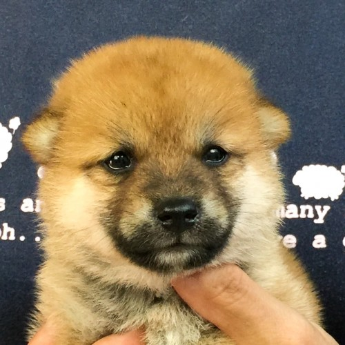 柴犬の子犬(ID:1262511566)の1枚目の写真/更新日:2018-08-30