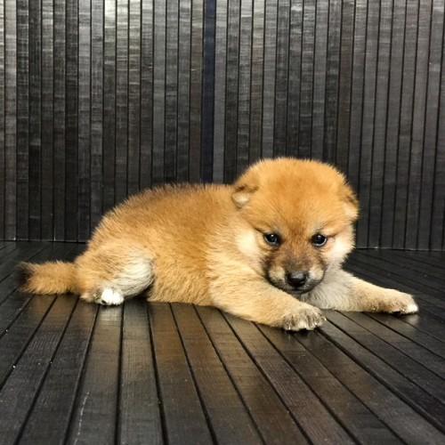 柴犬の子犬(ID:1262511566)の2枚目の写真/更新日:2018-08-30