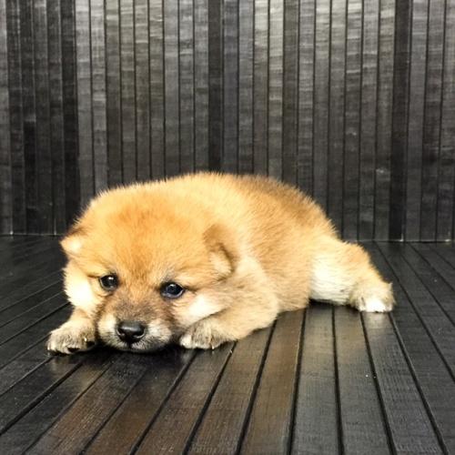 柴犬の子犬(ID:1262511566)の3枚目の写真/更新日:2018-08-30