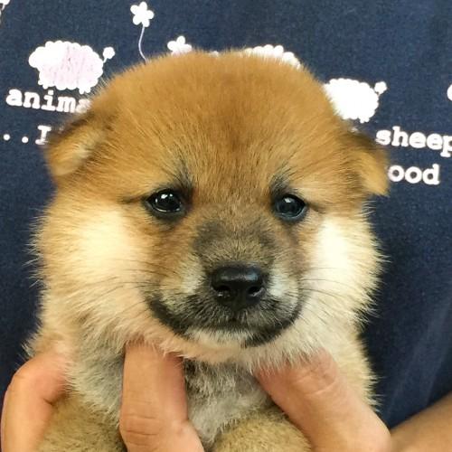 柴犬の子犬(ID:1262511567)の1枚目の写真/更新日:2018-08-30