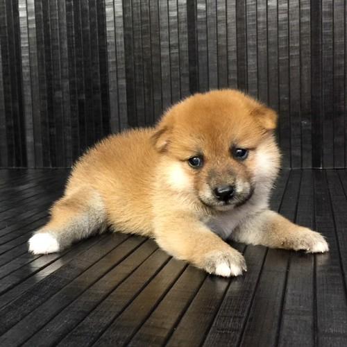 柴犬の子犬(ID:1262511567)の2枚目の写真/更新日:2018-08-30
