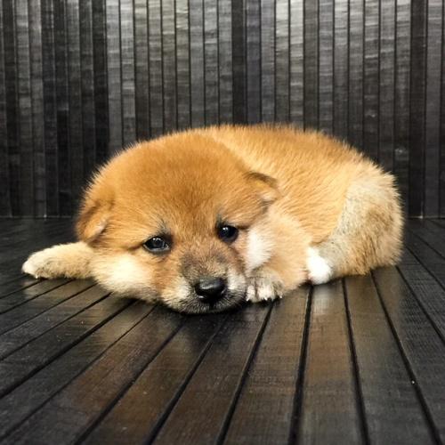 柴犬の子犬(ID:1262511567)の3枚目の写真/更新日:2018-08-30