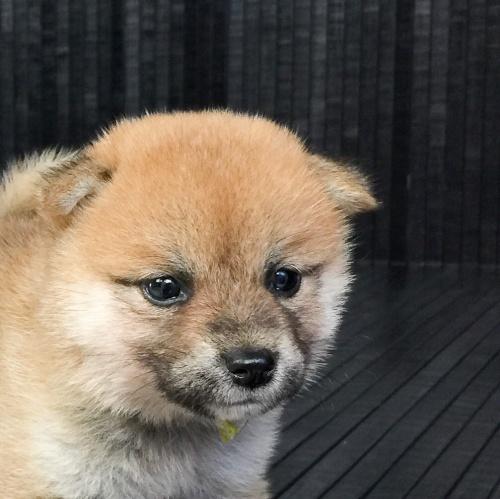 柴犬の子犬(ID:1262511568)の1枚目の写真/更新日:2018-09-06