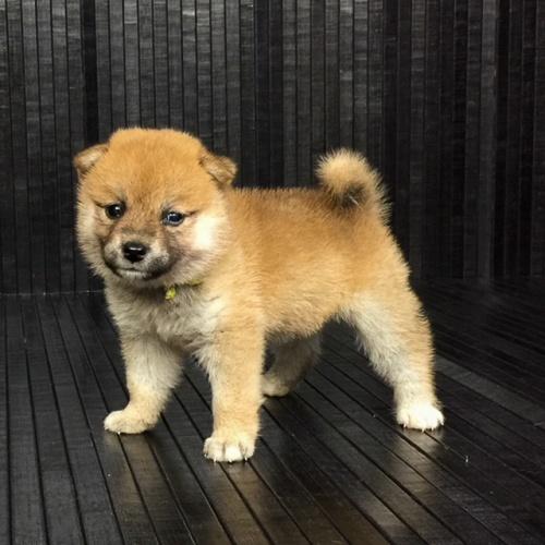 柴犬の子犬(ID:1262511568)の2枚目の写真/更新日:2018-09-06