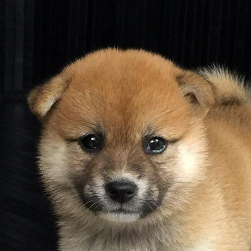 柴犬の子犬(ID:1262511569)の1枚目の写真/更新日:2018-09-08